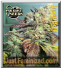 Paradise Lucid Bolt Female 5 Marijuana Seeds